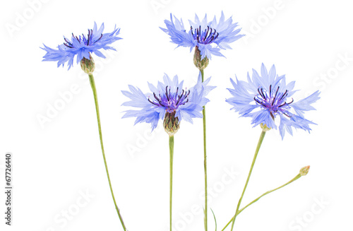 canvas print picture knapweed flower