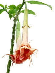 flowers of Brugmansia Datura
