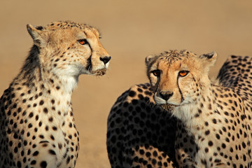 Portrait of two cheetahs, Kalahari desert