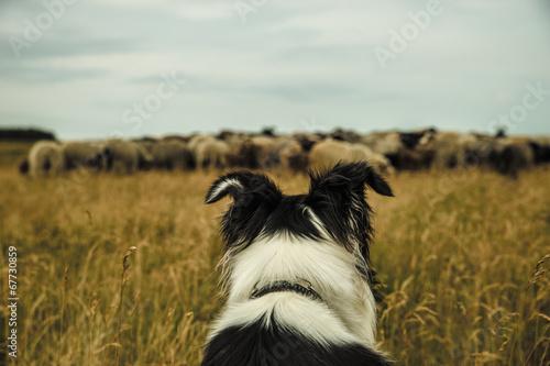 Keuken foto achterwand Schapen Hund und Schafe