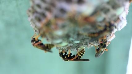 アシナガバチ -Polistinae-