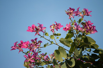 Butterfly Tree, Orchid Tree, Purple Bauhinia with blue sky