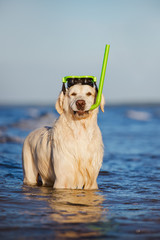 golden retriever dog in snorkeling equipment