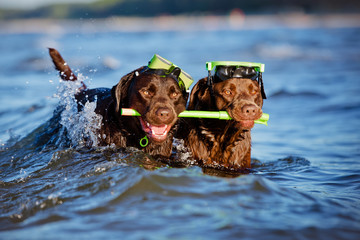 two labradors with snorkel equipment