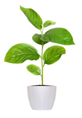 small green seedling in a flowerpot isolated over white