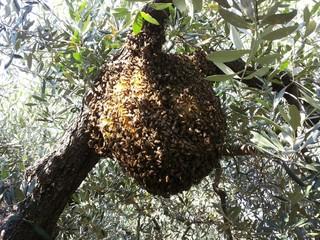 Sciame d'api selvatiche sull'albero di ulivo