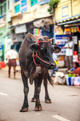 Cow on the street of Indian town