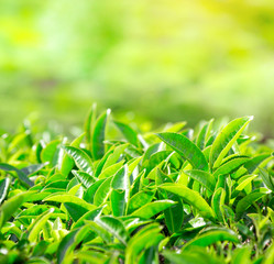 Close up of tea leaves. Tea plantations in India