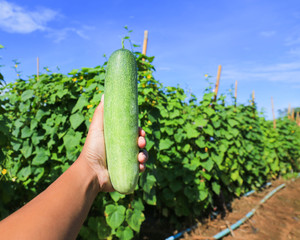 Farmer hand holding a cucumbers in summer garden. Focus on the c
