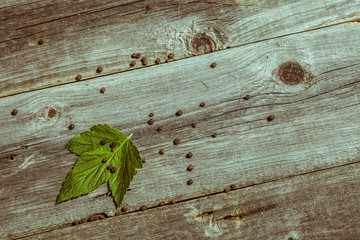 Green leaf currants on old wooden table