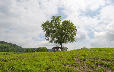 Two horses under a tree in summer