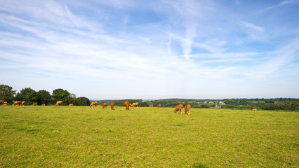 Cattle grazing in a meadow in summer