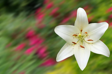 White day lily flower