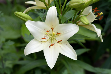 White daylily flower