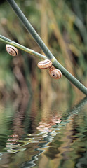 snails in hibernation reflected on water