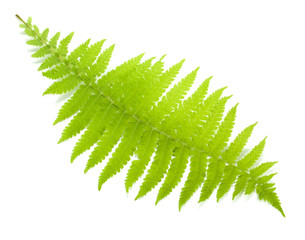 Green fern leaf