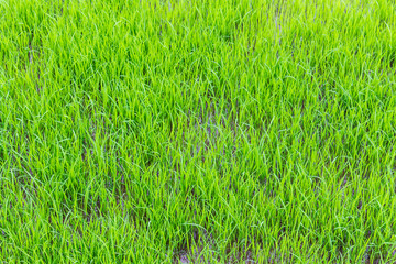 Young green rice field texture