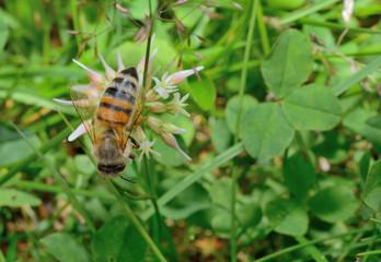 Klee-Wiese, Biene