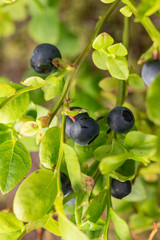 ripe blueberries