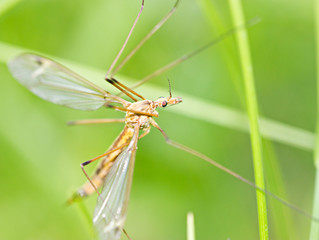 Brown tipula on grass