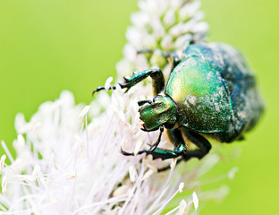 Green beetle on flower