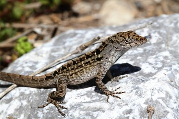 Brown Anole Lizard (Anolis sagrei)