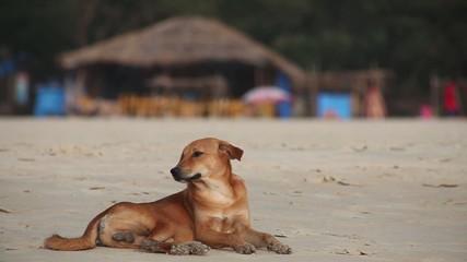 Dog on beach. India