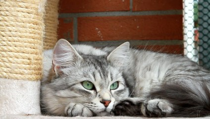 silver cat of siberian breed