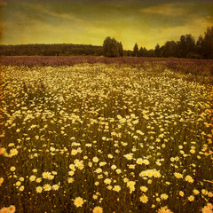 Grunge image of daisy field.
