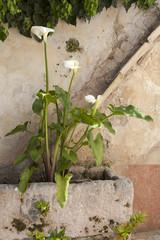 Gewöhnliche Calla-Zantedeschia aethiopica