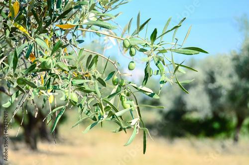 Aluminium Olijfboom Olive garden