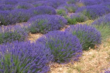 Promenade dans les Champs de lavandes en Provence Pays de Sault