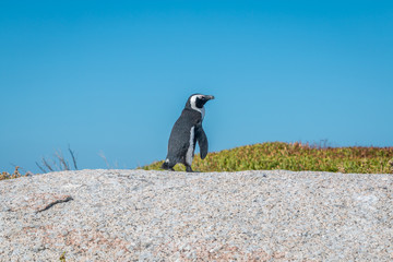 Lonely Penguin in Cape town South Africa