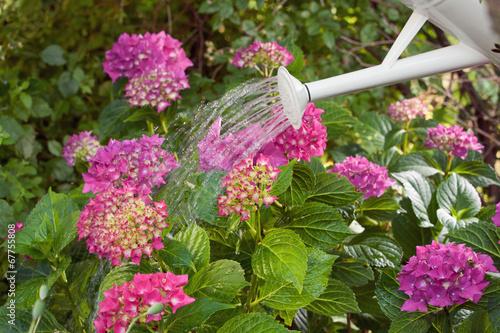 Tuinposter Hydrangea Blumen gießen im Garten