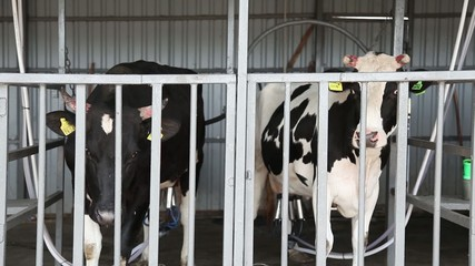 Automatic milking cows