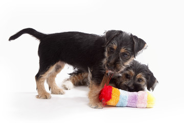 Two young Terrier Mix dogs playing with each other