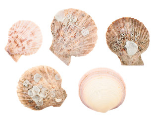 Set of multiple sea shells isolated