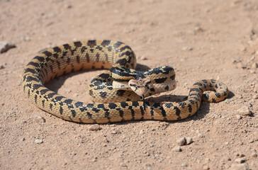 desert glossy snake, mohave desert, california