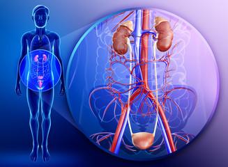 Illustration of male kidney anatomy