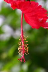 Closeup of Indian hebiscus flower