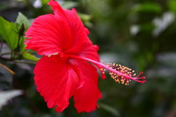 Hebiscus flower