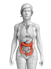 Female large intestine anatomy