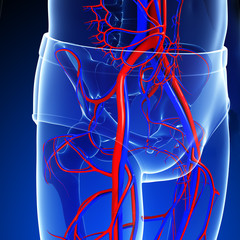 Pelvic girdle circulatory system