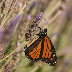 Monarch butterfly feeding on lavender nectar