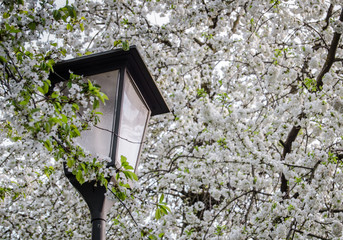 Europe Street Lamp And Blossom