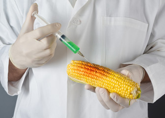 Scientist in genetic laboratory holding corn on the cob