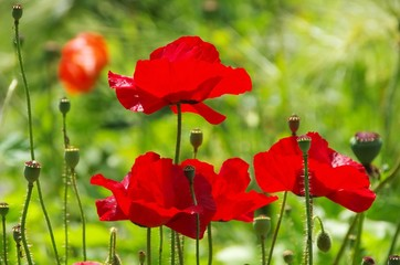 Klatschmohn - corn poppy 45