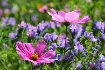 Gartenblumen mit Cosmea und Natterkopf