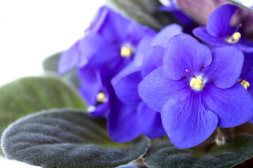 Purple blue african violet isolated on white