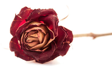 Dried red rose as a concept of aging